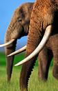 110519ivory_elephant.jpg