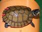 120428Philippine-turtlesre-turned.jpg