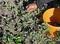 141000Medicinal-Plant-harvesting.jpg