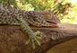 151106Tokay-Gecko.jpg