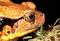 160809False-Tomato-Frog.jpg