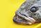 160925_Antarctic-Toothfish.jpg