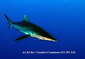 161004Silky-Shark.jpg