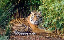080213_Sumatran-Tiger.jpg