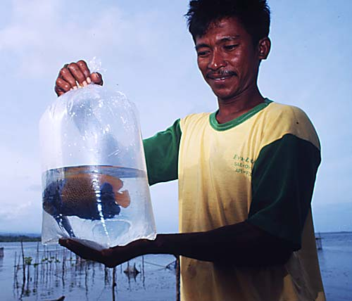 水槽飼育向け観賞魚取引は、沿岸地域の他に生計を立てるための選択肢はほとんどない地元の貧しい人々にとっての収入となっており、その利益は大きい。© Tantyo Bangun / WWF-Canon