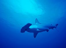 シュモクザメ類3種の附属書 II 掲載が提案されている。写真はシロシュモクザメ Sphyrna zygaena © Cat Holloway / WWF-Canon