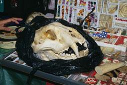 101109tiger-skull-image.jpg