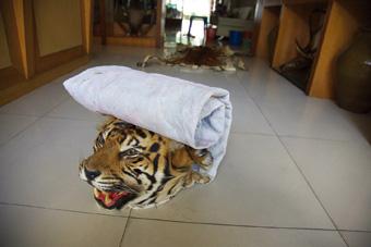 101119_tiger_head_Adam_Oswe.jpg